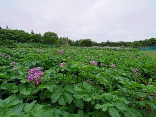 ジャガイモ花.jpg